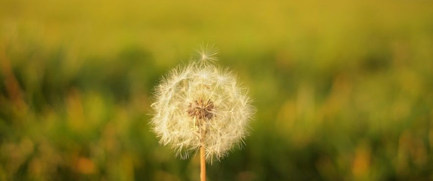 dandelion-unintended-consequences